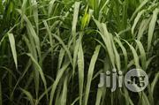 Elephant Grass Seedlings | Feeds, Supplements & Seeds for sale in Plateau State, Jos