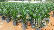 Palm Kernel Oil Palm Seedlings | Feeds, Supplements & Seeds for sale in Plateau State, Jos