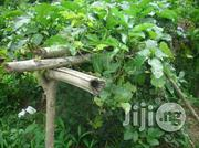 Ugwu Fluted Pumpkin Seedlings | Feeds, Supplements & Seeds for sale in Plateau State, Jos South