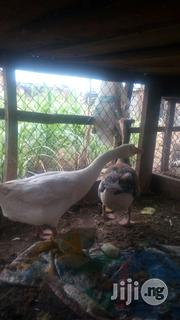 Geese Hybrid Bird | Livestock & Poultry for sale in Niger State, Suleja