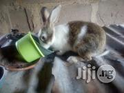 Rabbit For Sale | Livestock & Poultry for sale in Ogun State, Ewekoro