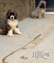 Mountain Caucasian Shepherds Pups For Sale | Dogs & Puppies for sale in Lagos State, Alimosho