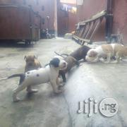American Pit Bull Terrier Pups Available For Sale | Dogs & Puppies for sale in Lagos State, Lagos Mainland