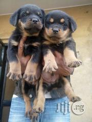 Puppies For Sale | Dogs & Puppies for sale in Lagos State, Lagos Mainland