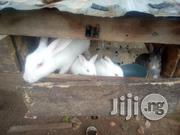 Rabbit Of Different Age For Sale | Livestock & Poultry for sale in Ogun State, Ewekoro