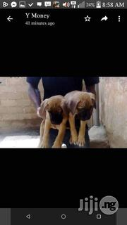 Baby Male Purebred Bullmastiff | Dogs & Puppies for sale in Enugu State, Nsukka