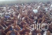 Point Of Lay Layers Large Quantity. | Livestock & Poultry for sale in Rivers State, Port-Harcourt