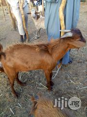 Full Grown Goat | Livestock & Poultry for sale in Sokoto State, Sokoto North
