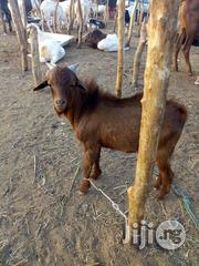 Male Goat | Livestock & Poultry for sale in Sokoto State, Sokoto North