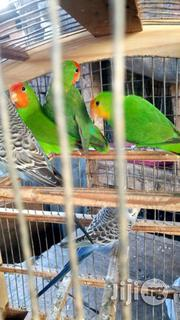 Love Parrot For Sale | Birds for sale in Lagos State, Lagos Mainland