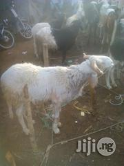 Full Grown Ram | Livestock & Poultry for sale in Sokoto State, Sokoto North