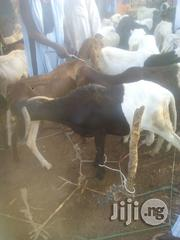 Very Big Ram | Livestock & Poultry for sale in Sokoto State, Sokoto North