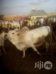 Full Grown Cow | Livestock & Poultry for sale in Sokoto State, Sokoto North