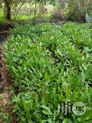 Cashew Seedlings | Feeds, Supplements & Seeds for sale in Oyo State, Ibadan North East