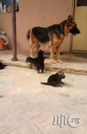 Pure German Shepherd Pups Available For Sale | Dogs & Puppies for sale in Lagos State, Lagos Mainland