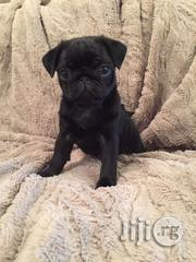 Pug Puppies | Dogs & Puppies for sale in Lagos State, Ikoyi