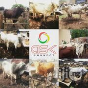 Cow For Sale | Livestock & Poultry for sale in Lagos State, Lagos Island