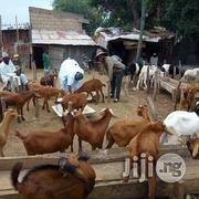 Big Healthy Goat ( Ogufe )   Livestock & Poultry for sale in Lagos State, Lagos Island
