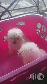 Young Female Purebred Poodle | Dogs & Puppies for sale in Lagos State, Ikoyi
