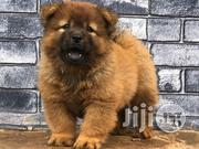 Chow Puppies Available for Sale | Dogs & Puppies for sale in Lagos State, Ikoyi