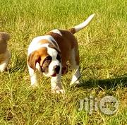 St Benerd Puppies | Dogs & Puppies for sale in Lagos State, Ikoyi