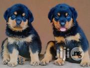 Rott Puppies   Dogs & Puppies for sale in Oyo State, Ibadan