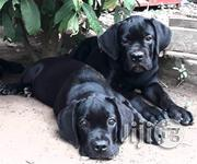 Cane Corso | Dogs & Puppies for sale in Lagos State, Lekki Phase 2