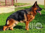 Female Imported Slant German Shepherd | Dogs & Puppies for sale in Lagos State, Ikoyi