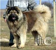 Imported Caucasian Semi Adult | Dogs & Puppies for sale in Lagos State, Ikoyi