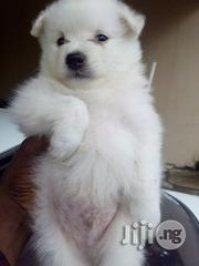 Samoyed Full Breed Pups | Dogs & Puppies for sale in Lagos State, Alimosho