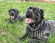 Cane Corso Puppies | Dogs & Puppies for sale in Lagos State, Ikoyi