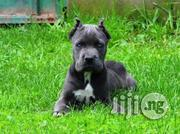 Cane Corso | Dogs & Puppies for sale in Lagos State, Ikoyi