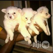 Young Female Purebred | Dogs & Puppies for sale in Lagos State, Lagos Mainland