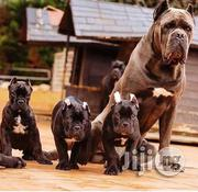 Standard Cane Corso | Dogs & Puppies for sale in Lagos State, Lekki Phase 2