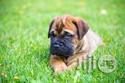Bullmastif Puppies | Dogs & Puppies for sale in Lagos State, Ikoyi