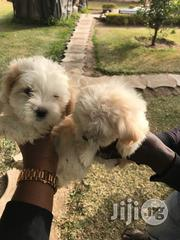 Lhasa Apso Puppies | Dogs & Puppies for sale in Lagos State, Ikoyi