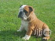 British Bulldog | Dogs & Puppies for sale in Abuja (FCT) State, Maitama
