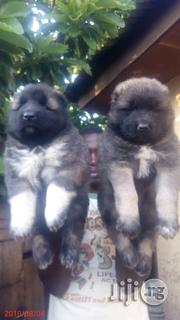 Caucasian Puppies For Sale   Dogs & Puppies for sale in Abuja (FCT) State, Gwagwalada