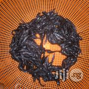 At Least 1,000pieces Fingerlings, Post And Juv   Fish for sale in Oyo State, Ido