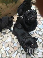 Pug Puppies   Dogs & Puppies for sale in Oyo State, Ibadan