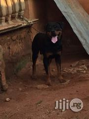 Male Rottweiler for Complete Guard | Dogs & Puppies for sale in Edo State, Benin City