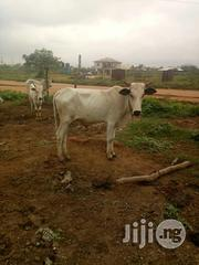 Healthy Cow At Affordable Price | Livestock & Poultry for sale in Ogun State, Sagamu