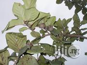 Nauclea Latifolia | Vitamins & Supplements for sale in Plateau State, Jos South