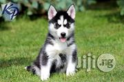 Imported Siberia Husky | Dogs & Puppies for sale in Lagos State, Ikoyi