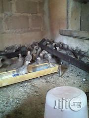 Quail Birds For Sale | Livestock & Poultry for sale in Plateau State, Jos South
