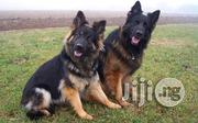 Imported Pedigree German Sheperd | Dogs & Puppies for sale in Abuja (FCT) State, Maitama