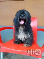 Lhasa 4 Stud(Mating) Services   Dogs & Puppies for sale in Edo State, Oredo