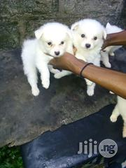 Pure Breed Samoyed Puppies | Dogs & Puppies for sale in Abuja (FCT) State, Maitama