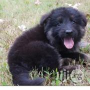 German Sheperd Pure Breed Pedigree | Dogs & Puppies for sale in Lagos State, Ikeja