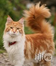Maine Coon Kittens For Sale   Cats & Kittens for sale in Abuja (FCT) State, Wuse 2